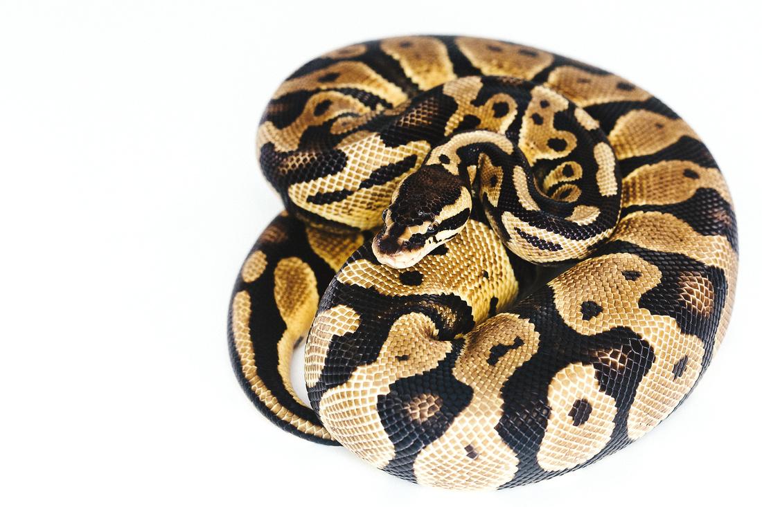 Snake Reptile Ziller Reptiles Ball Python St. Louis Edwardsville Reptile Snake Sales For Sale